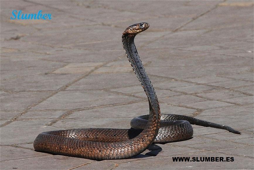 que significa si sueño con una serpiente negra o cobra